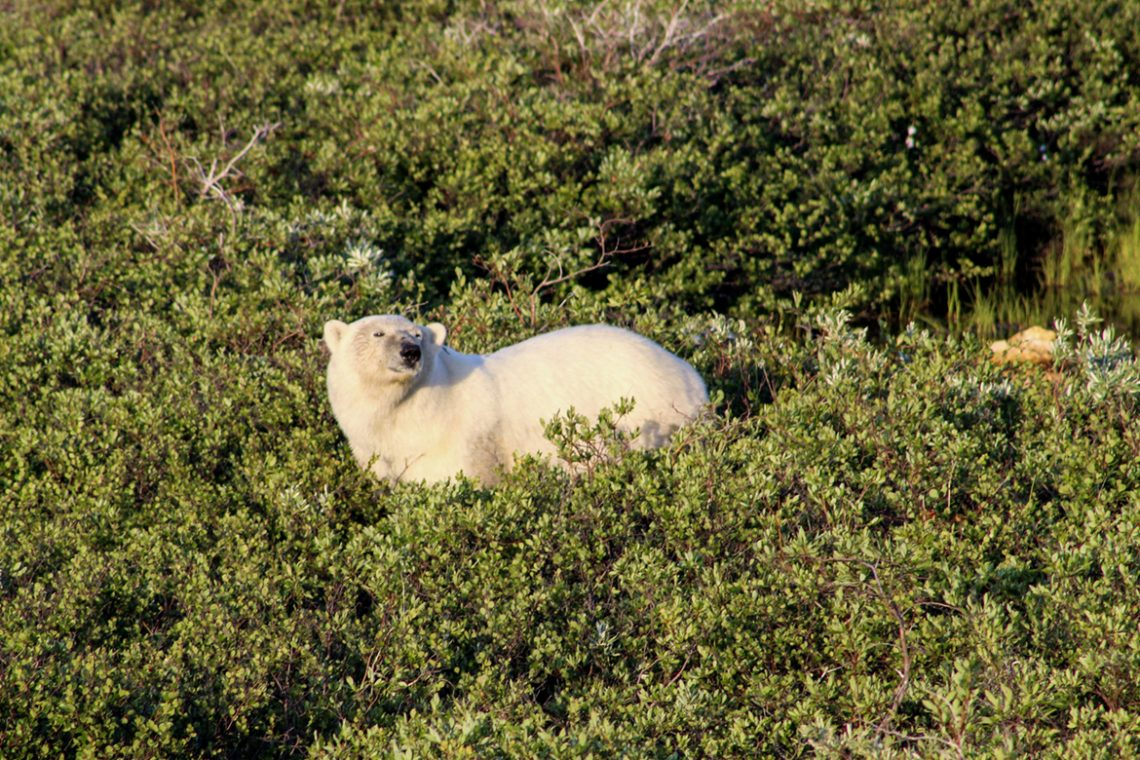 A polar bear photographed by Jessica Howe in summer 2019.