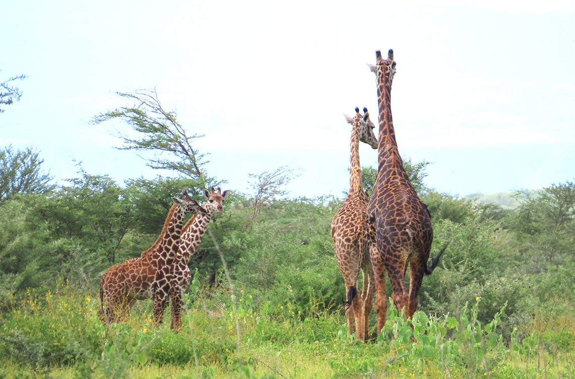 Giraffes were one of the many native African wildlife students enjoyed while on safari.