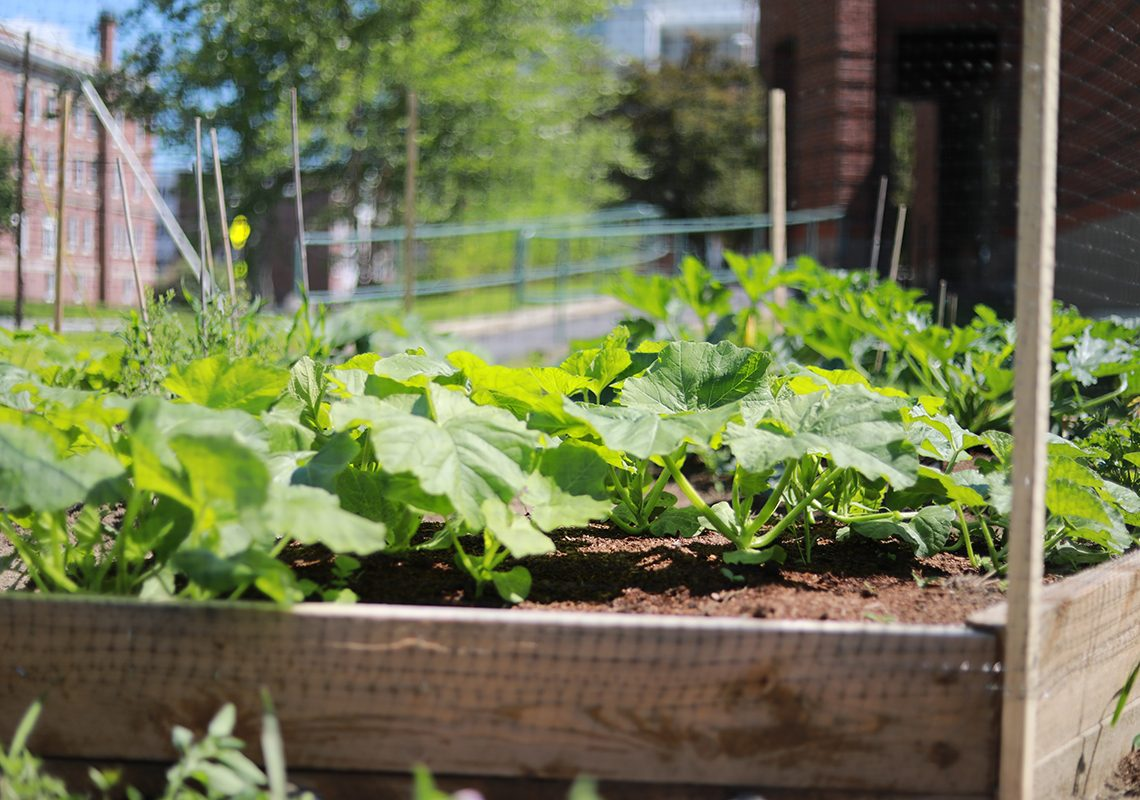 The UMF Community garden features student-designed raised beds growing a variety of vegetables and herbs